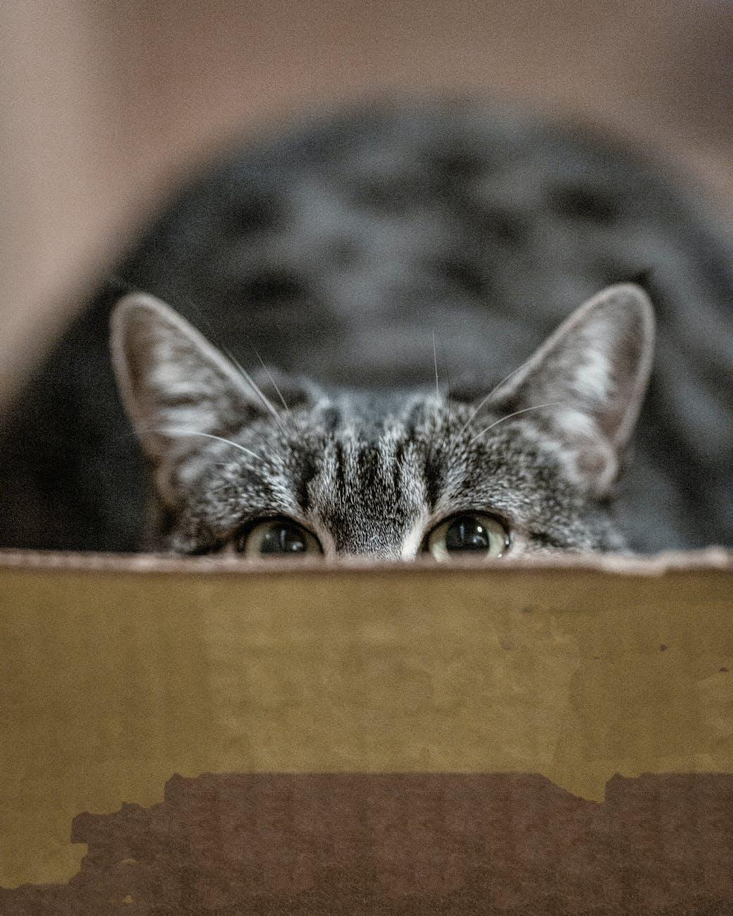 peeping gray cat